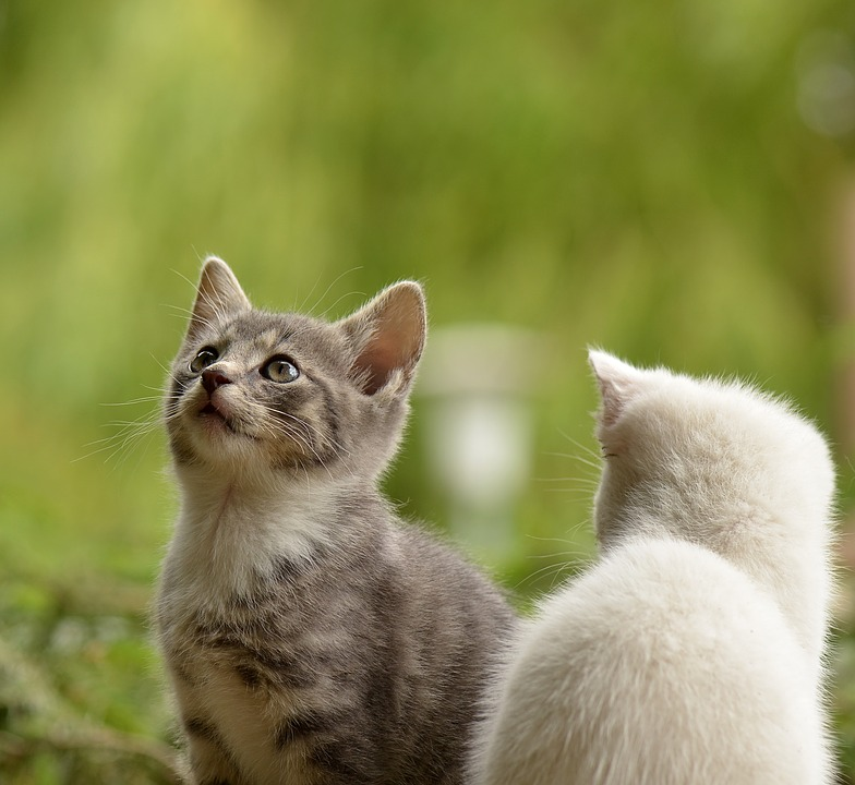 castrar a un gato