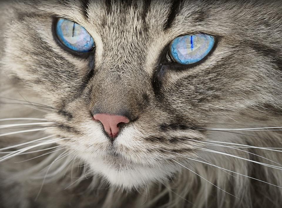 esterelizar a un gato
