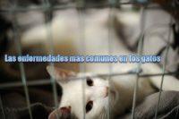Las enfermedades más comunes en los gatos